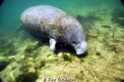 Manatee at Crystal River FL by Ray Eccleston